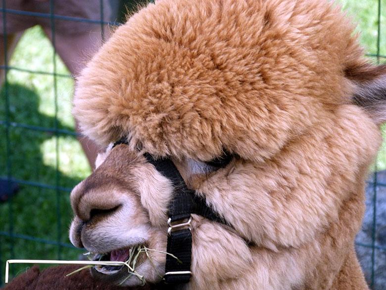 Alpacas visit Hastings Fibre Festival